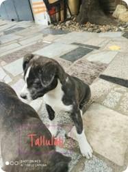 Tallulah, Chiot à adopter