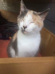 Aimy, Chat européen à adopter
