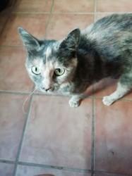 Nina, Chaton européen à adopter