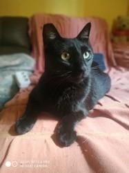 Salem, Chat européen à adopter