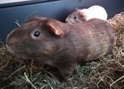 Goldy et nala cochons d'inde, Animal à adopter