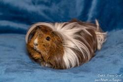 Houlahop cochon d'inde femelle, Animal à adopter