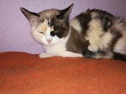 Agata, Chat européen à adopter