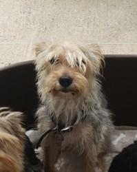 Chipie, Chien yorkshire terrier à adopter