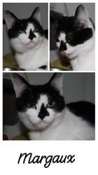 Margaux, Chat européen à adopter