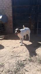 Juno, Chien à adopter