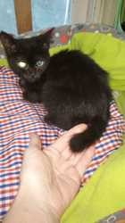 Elanochka femelle, Chat à adopter