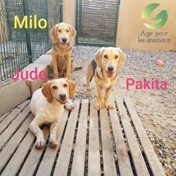 Jude milo et pakita ensemble, Chien petit basset griffon vendéen à adopter