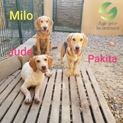 Jude milo et pakita, Chiot petit basset griffon vendéen à adopter