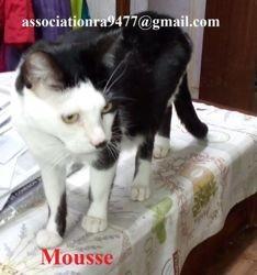 Mousse, Chat européen à adopter