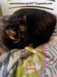 Ludivine, Chat européen à adopter