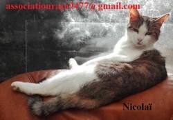 Nicolaï, Chat européen à adopter