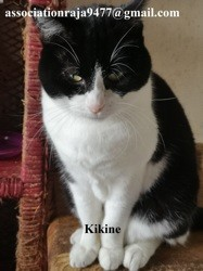Kikine, Chat européen à adopter
