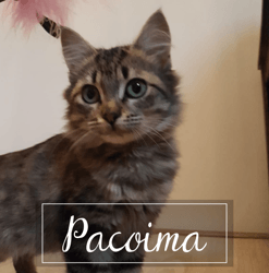 Pacoima, Chaton à adopter
