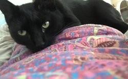 Okaïdi, Chat européen à adopter