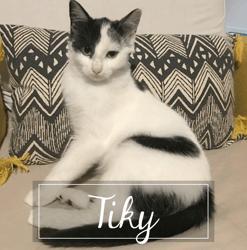 Tiky, Chaton à adopter