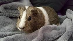 Millie cochon d'inde femelle, Animal à adopter