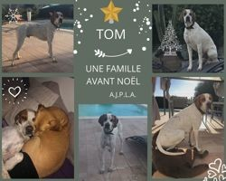 Tom, Chien pointer anglais à adopter