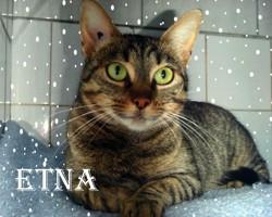 Etna adorable tigrée, Chat à adopter