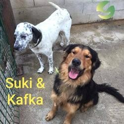 Kafka et suki, Chien golden retriever, terre-neuve à adopter