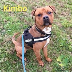 Kimbo, Chiot american staffordshire terrier à adopter