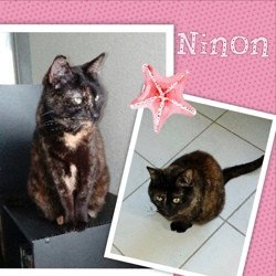 Ninon, Chat européen à adopter
