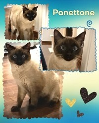 Panettone, Chat européen, siamois à adopter