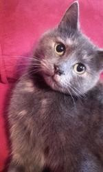 Brume, magnifique petite chatte écaille de tortue d'environ 3ans, Chat à adopter