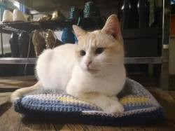 Olympe, Chat européen, siamois à adopter