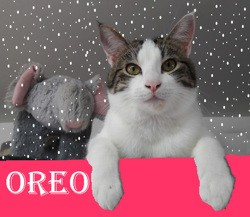 (sos) oreo gentil malicieux, Chat à adopter