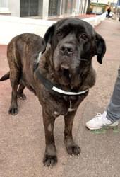 Katanna, Chien cane corso à adopter