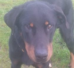 Oslo, Chien beauceron à adopter