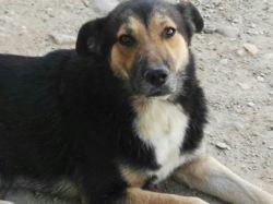 Dingo, Chien berger allemand, mâtin espagnol à adopter