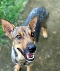 Bepcy, jolie chienne créole croisée, Chien à adopter