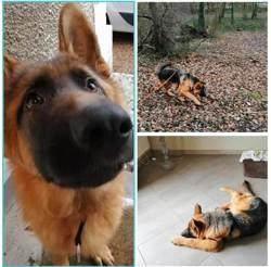 Paco, Chiot berger allemand à adopter