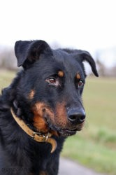 Jerko, Chien beauceron à adopter