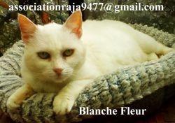 Blanche fleur, Chat européen à adopter
