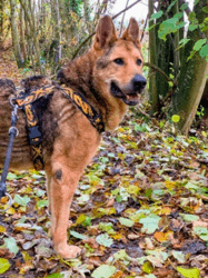 Lobo, Chien berger allemand à adopter