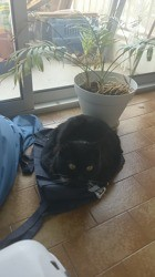 Biscotte, Chat européen à adopter