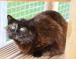 Danitza, Chat européen à adopter