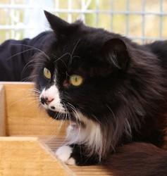 Rowena, Chat européen à adopter