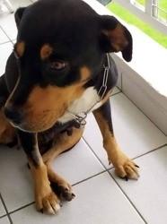 Babou, belle chienne croisée créole, Chien à adopter