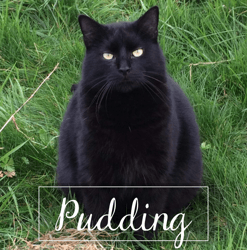Pudding, Chat à adopter
