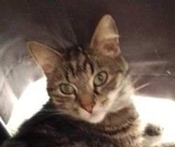 Féline, Chat européen à adopter
