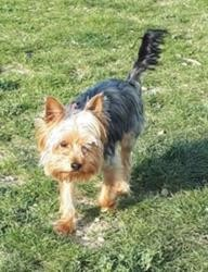 Marty, adorable yorkshire terrier de 3 ans, Chien yorkshire terrier à adopter