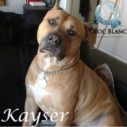 Kayser, adorable american stafforshire terrier lof aux yeux verts, Chien american staffordshire terrier à adopter