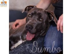Dumbo, Chien à adopter