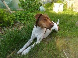 Méo, Chien terrier brésilien à adopter