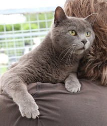 Graysie, Chat chartreux, gouttière à adopter