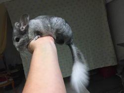 Pitchu, Animal à adopter